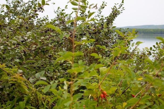 Зеленые кусты с красными и синими ягодами на озере летом