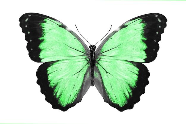 Зеленая бабочка. естественное насекомое. изолированные на белом фоне