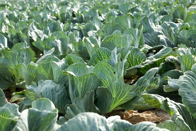 Поле зеленой капусты сельскохозяйственное поле, на котором растут незрелая зеленая капуста