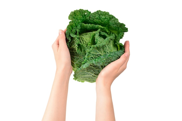 Green cabbage isolated on white background. in woman hands.