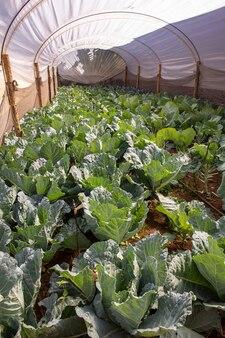 Плантации кочанной капусты в теплице