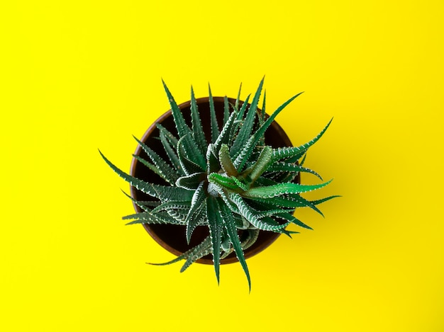 Green cactus on a bright yellow background. creative minimal concept