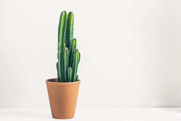 Green cactus in a ceramic pot on a minimalist white
