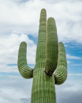 A green cactus under a cloudy sky in the sonoran desert outside of tucson arizona