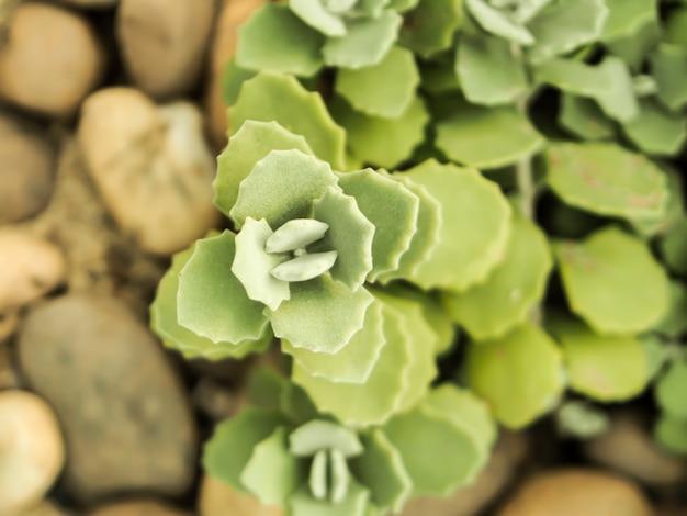 Green cactus flower background (succulent plan)