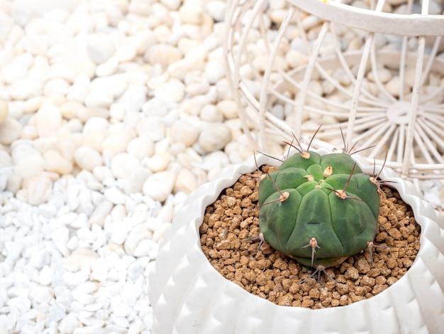 鍋に緑のサボテン。白いセラミックポットで成長しているクローズアップの小さなサボテン、コピースペース平面図。