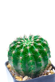 Green cactus isolated on white