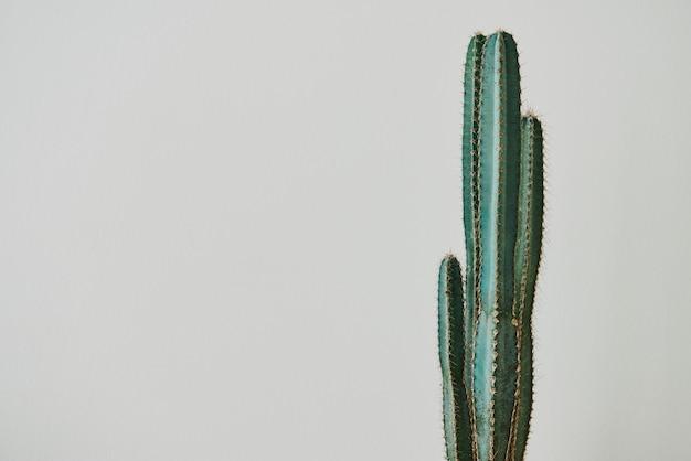 Зеленый кактус на сером фоне