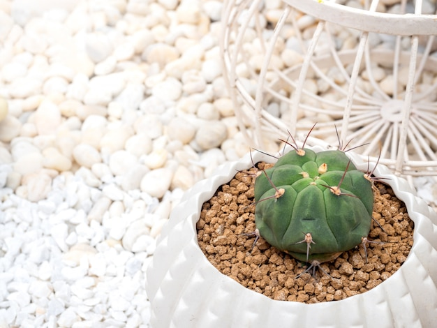 Green cactus in pot. close-up small cactus growing in white ceramic pots, top view with copy space.