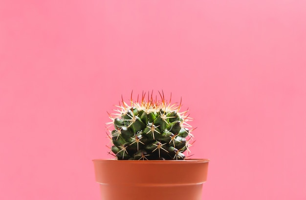 Green cactus in pot on pink pastel color background