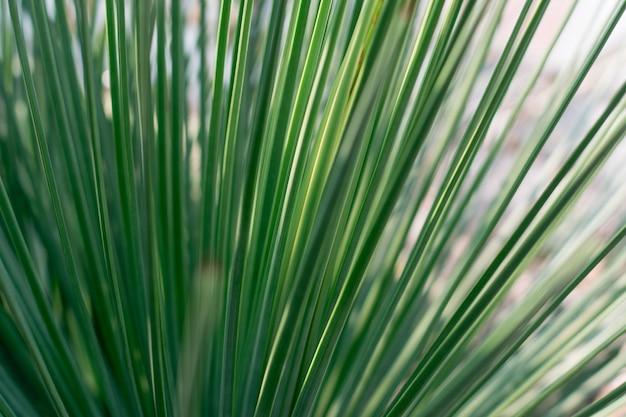 Зеленый кактус с длинными узкими листьями на размытом фоне