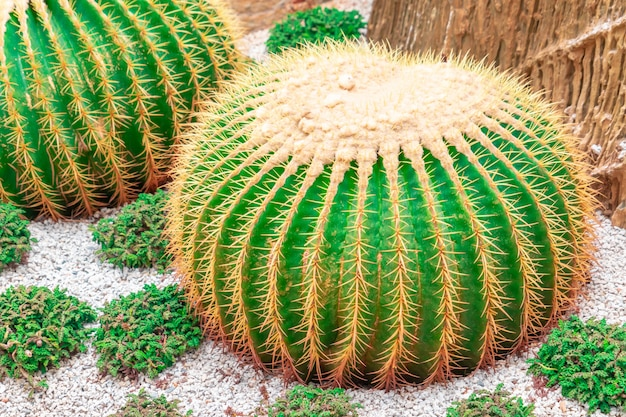 Green cactus with red thorn on rock garden