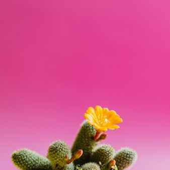 Green cactus with yellow flower plant on pink pastel color. trendy tropical mood and tone.