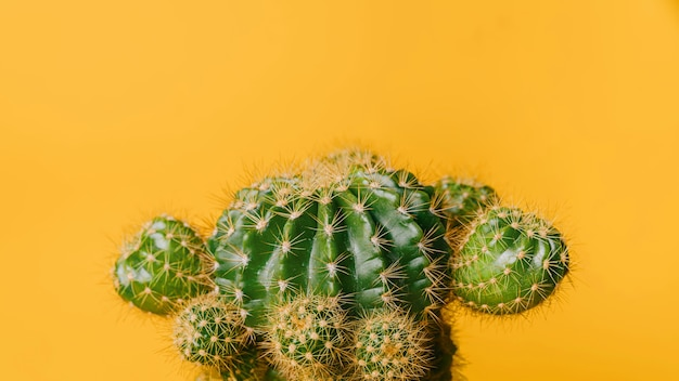 Green cactus on yellow background