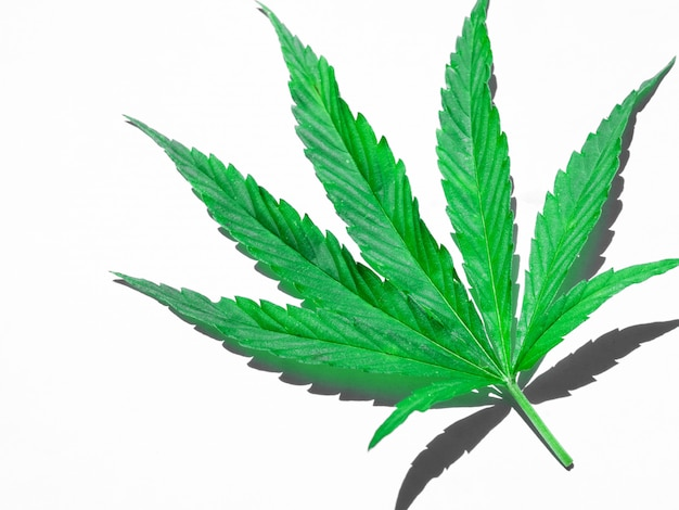 Green cannabis leaf isolated on white