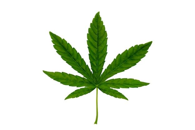 緑の大麻の葉は白い背景で隔離。大麻と医療大麻の葉を育てるコンセプト。ソフトフォーカスショット。