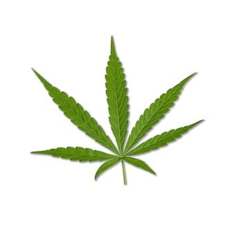 녹색 대마초 잎에 고립 된 흰색 배경. 성장하는 의료용 마리화나.
