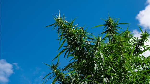 하늘에 대마초 식물 가지 프리미엄 사진
