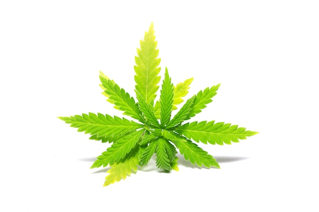 Green cannabis sprig, isolate, illegal drugs