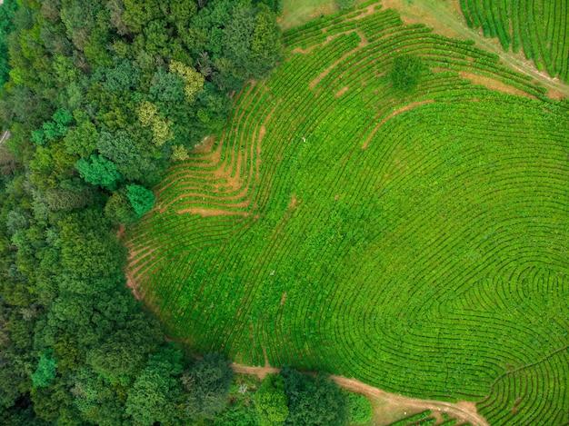 Green cascades of tea plantations high in the mountains. green tea bushes on a farm in sochi