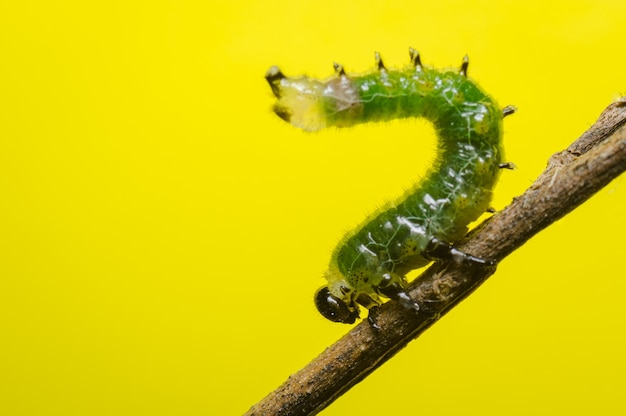 Green caterpillar on a branch lifting the body s