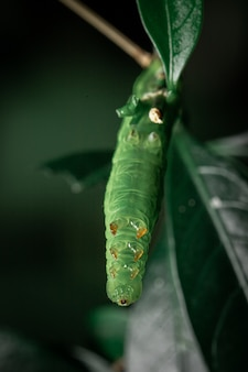 Green caterpillar eating leaf in the garden