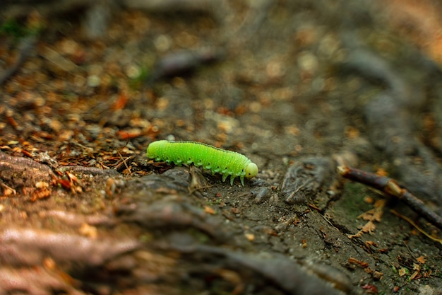 A green caterpillar in the forest on the moss