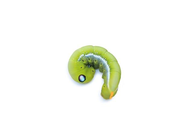 Зеленая гусеница, изолированные на белом фоне