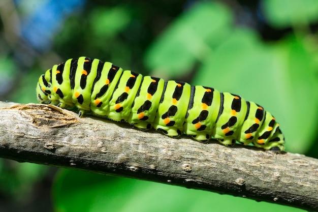 Green caterpillar on lilac leaf