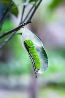 오렌지 잎에 녹색 애벌레를 닫습니다