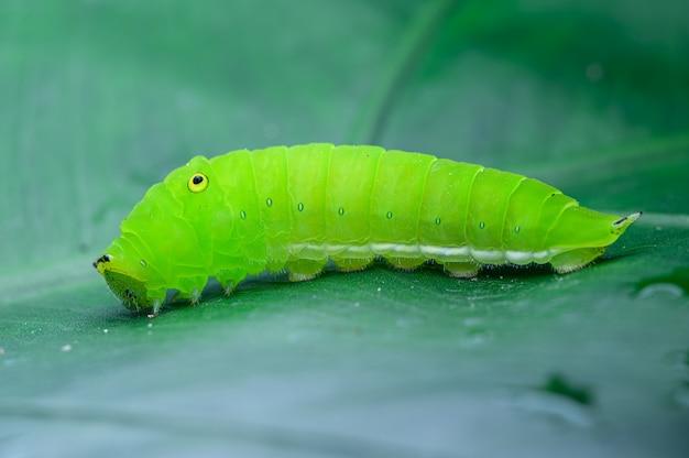 잎에 녹색 애벌레