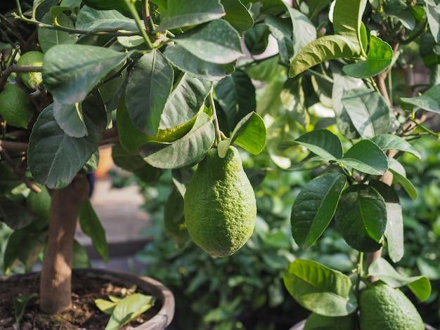 緑杉の果実と植物の背景