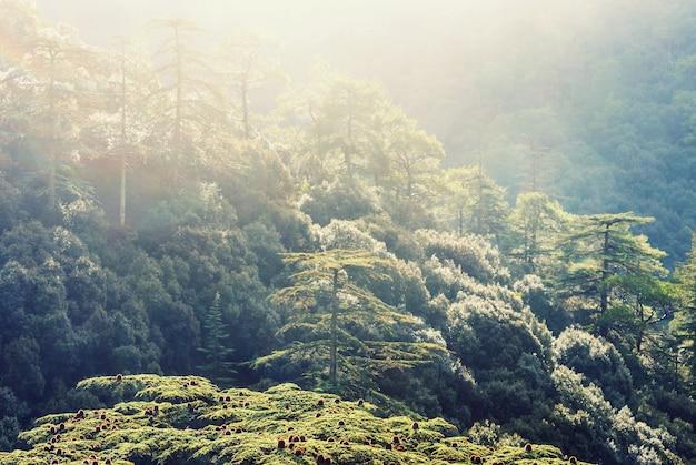 キプロスの山々の緑の杉の木