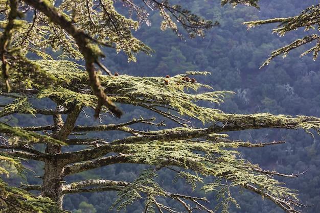 Зеленые кедры в горах кипра