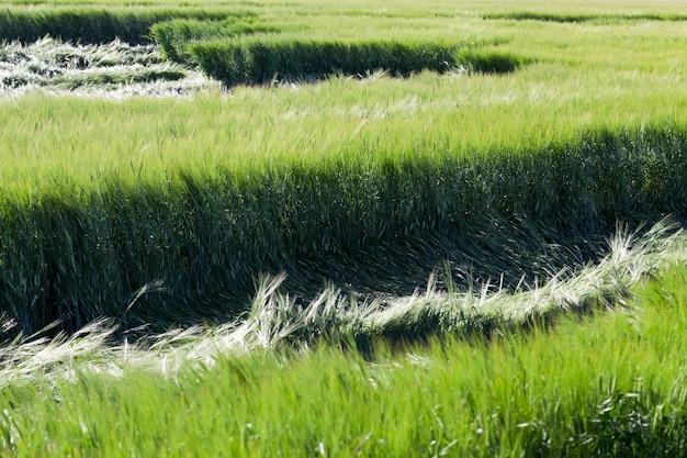 여름에 녹색 곡물 근접 촬영 설 익은 녹색 곡물