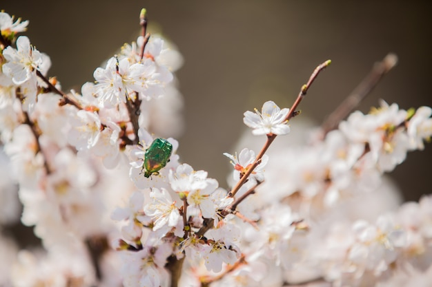 A green chafer beetle pollinates the white flowers of a blooming shrub