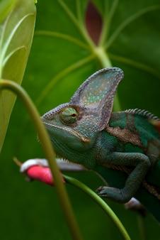 Зеленый хамелеон внутри растений, скрытый хамелеон крупным планом