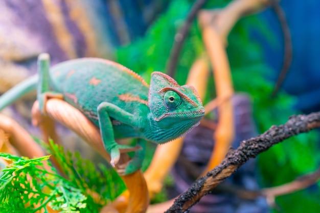 枝の上の緑のカメレオン。国内のペットのエキゾチックな熱帯動物。