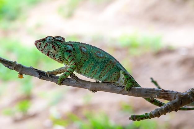 Зеленый хамелеон на ветке в природе
