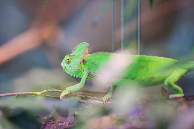 Green chameleon sits on a branch.