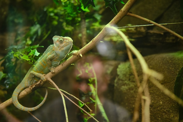 Green chameleon sitting on a tree branch in the zoo