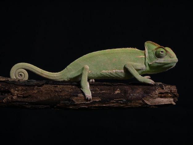 Green chameleon on wood, animal closeup.