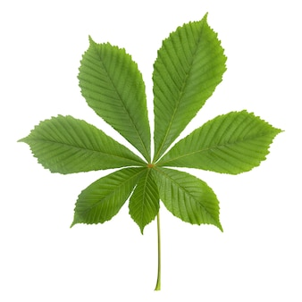 Лист зеленый каштан, изолированные на белом фоне, крупным планом