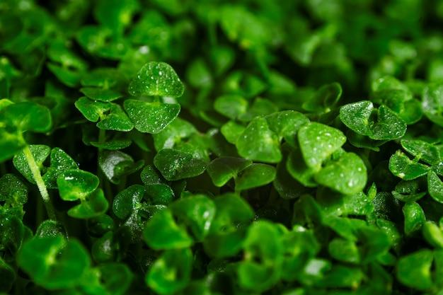 Зеленые ростки чиа макро фон