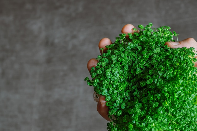 Green chia sprouts on a man's hand on gray