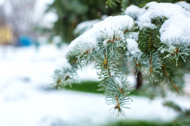 Green christmas trees in a winter park covered with snow