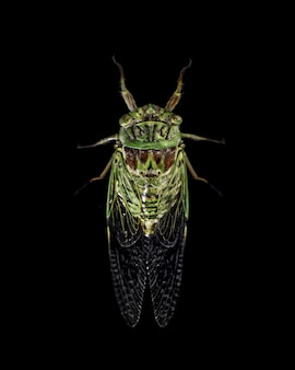 Green cicada insect isolated on black background - imagem