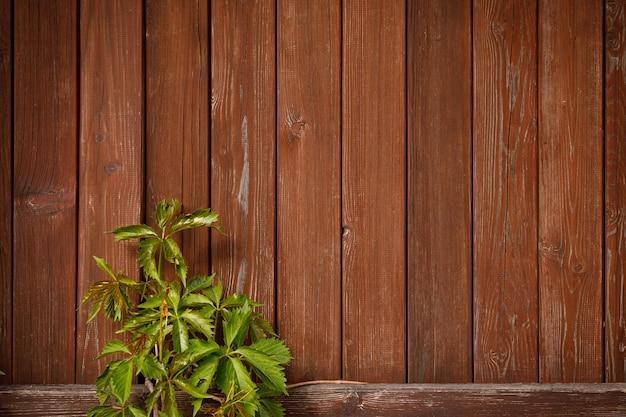 木の板の背景に緑の登山家のつる植物。