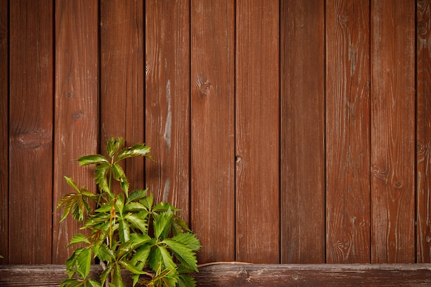 Green climber vine plant on wood plank background.
