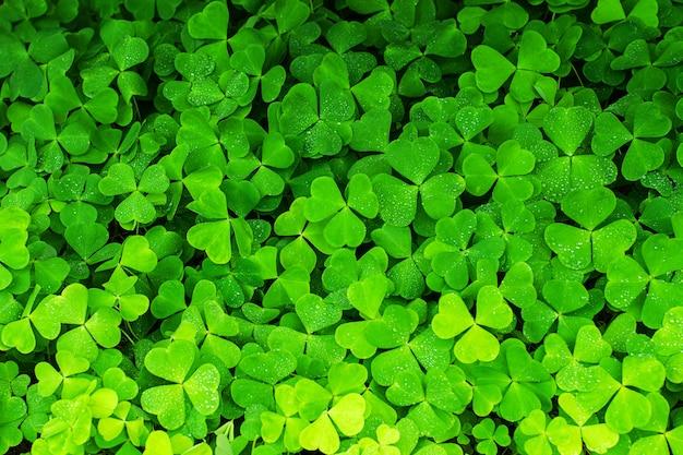 緑のクローバーの背景